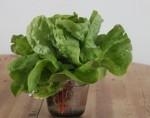 lettuce valdor
