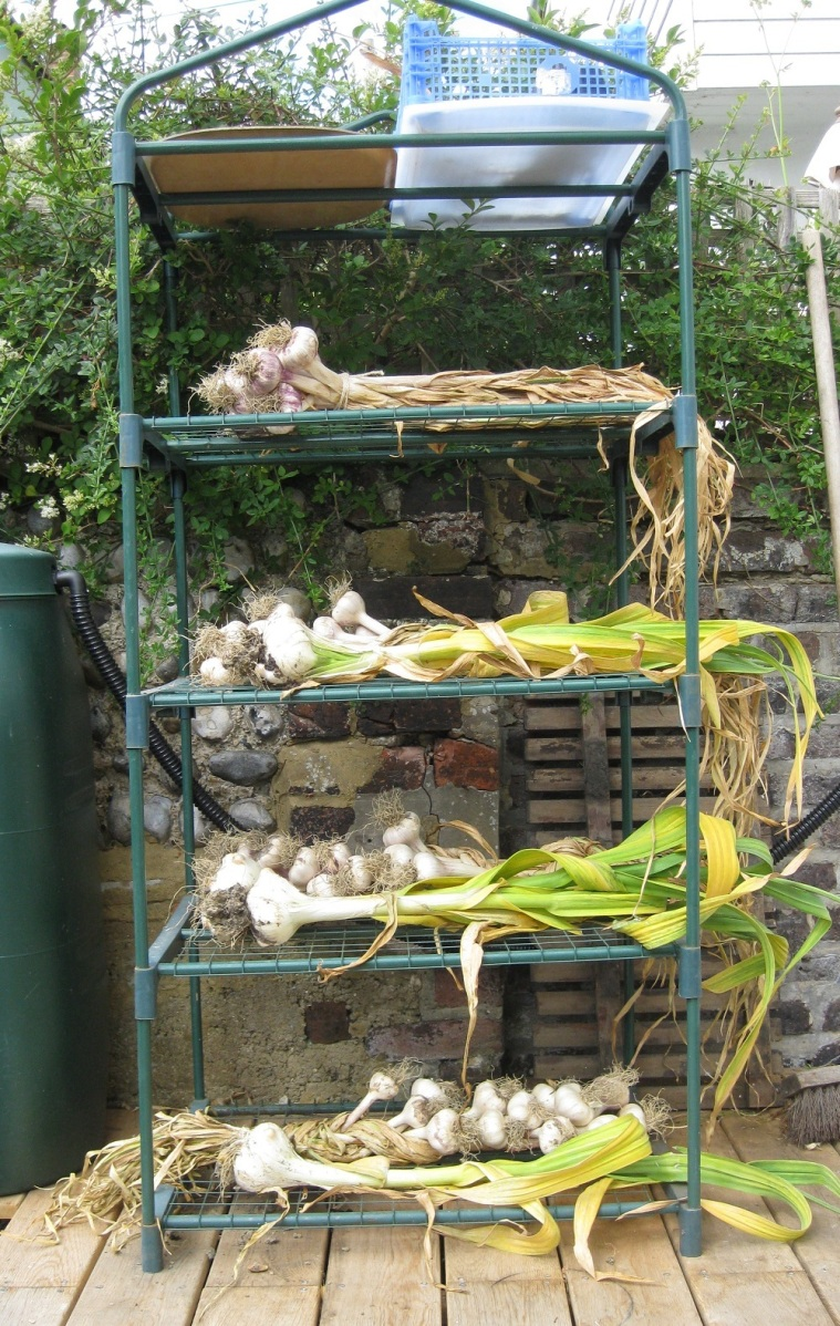 Jul - Garlic Drying