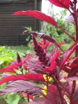 Aug - Amaranth