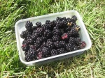 Blackberries_Aug
