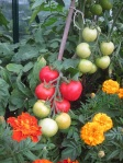 AlicanteTomatoes  and Marigolds