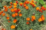 Flowers Californian Poppies