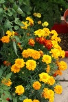 Marigolds in the Greenhouse