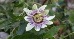 Passion Flower in November