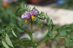 Ratte Potato Flower