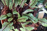 Red Leafed Sorrel