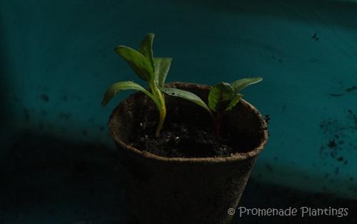 Rainbow Chard Seedlings