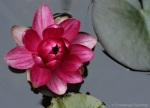 Water Lily Flower Closing