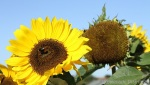 Sunflower_08_31_12