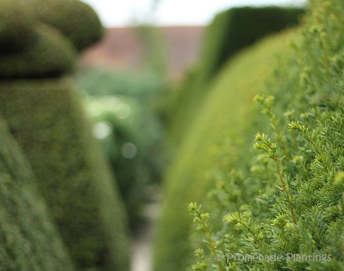17__Yew_Hedging