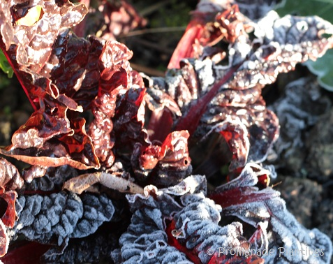 Chard_Red (4)