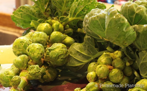 Brussel Sprouts_05_01_13 (1)