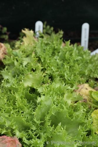 04_13_13_Lettuce (8)