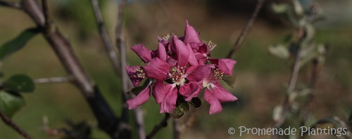 USE_Apple Blossom 2