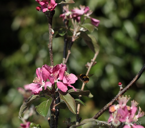 USE_Apple Blossom Bee (4)