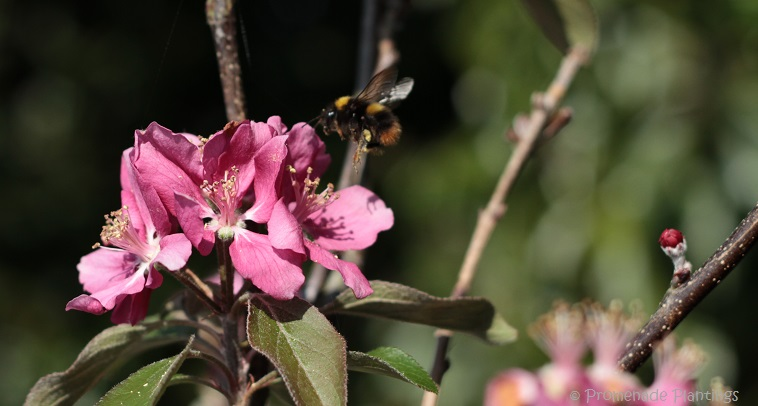 USE_Apple Blossom Bee (6)