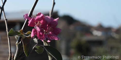 USE_Apple Blossom_1