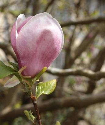 Magnolia (1b)