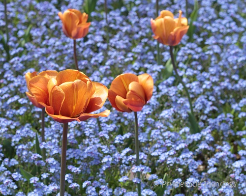 Tulips (11)