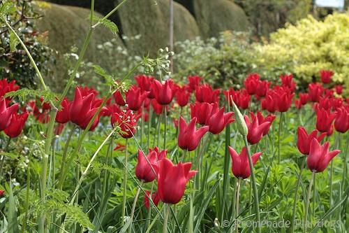 Tulips (13)