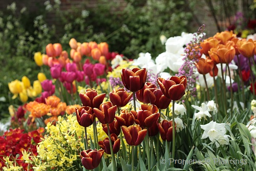 Tulips (5)