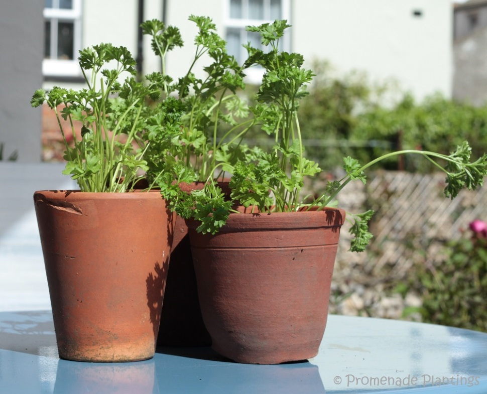 10_Parsley in terracotta pots