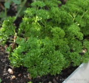 14_Parsley in ground