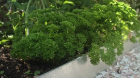 15_Parsley as edging