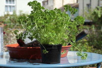1_Parsley Pot