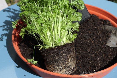 2_Parsley roots