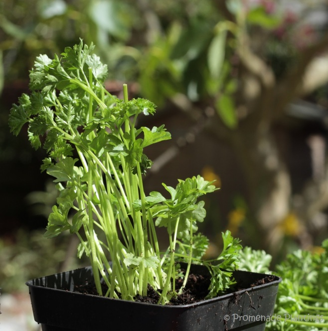 8_Parsley in pot