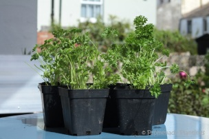9_Parsley potted up in new pots