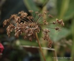 Agapanthus Seedhead drying
