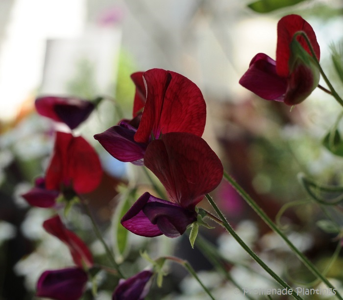 EDITED_2013_08_23_SweetPeas (1)
