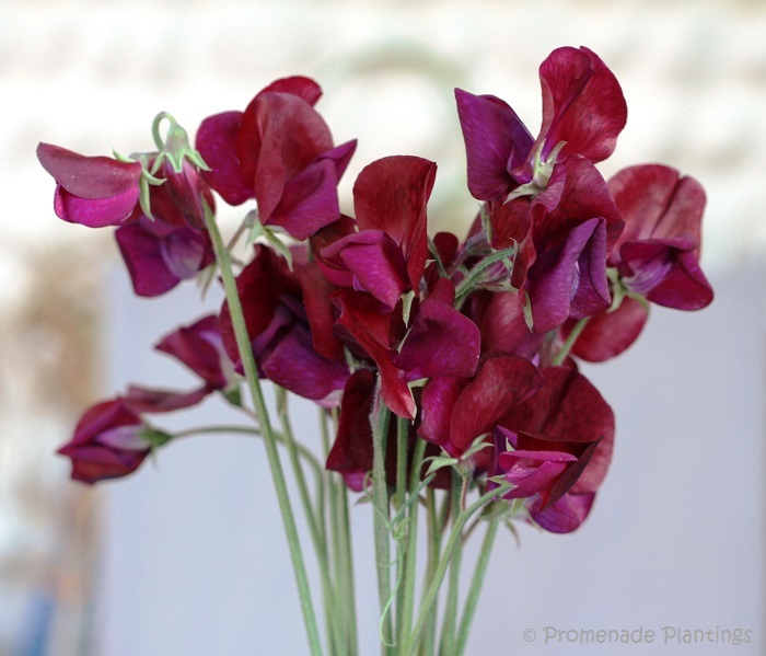Sweet Peas_Black Knight