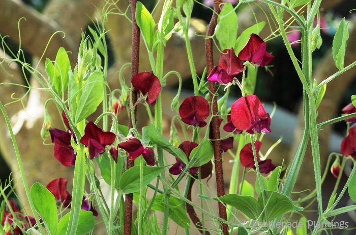 EDITED_SweetPeas_07_21_13 (1)