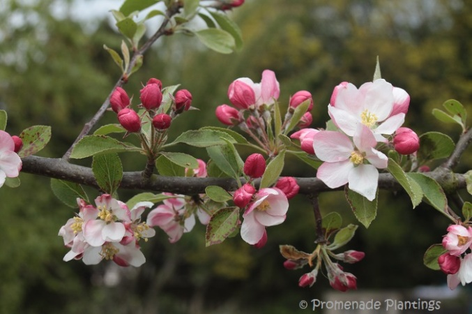 Apple Blossom (13)