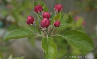 Apple Blossom 2 (1)