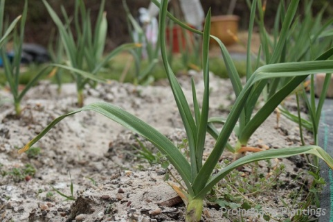 Garlic Growing on allotment_April