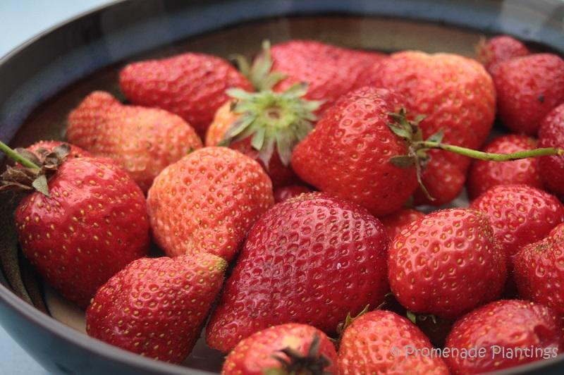 Bowl of freshly picked strawberries