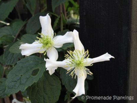 Garden Clematis 2