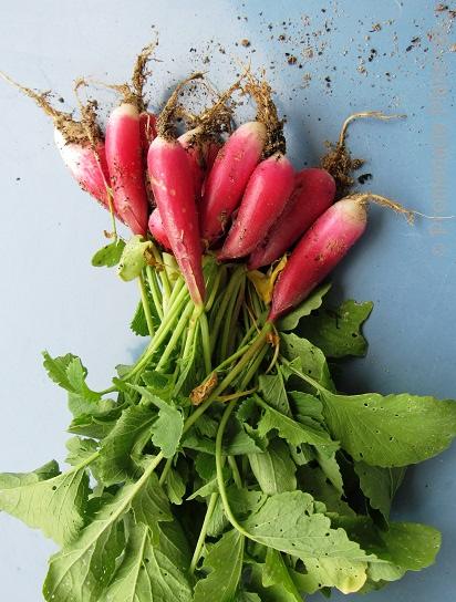Garden Radish 1