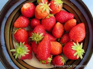 Garden strawberries